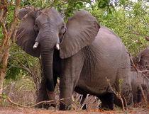 Elefant am Ufer des Okavango - Namibia Elephant von Eddie Scott
