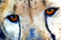 Gepard-afrika-foto-cheetah-2