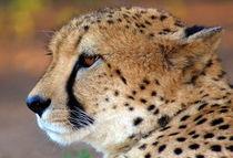 Gepard-afrika-foto-cheetah-4