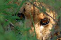 Gepard im Busch - Cheetah hiding in the bush - Africa by Eddie Scott
