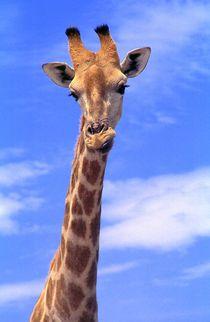 Giraffen-namibia-afrika-5