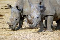 Nashorn-rhino-afrika-4