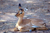 Impala-Antilope Jungtier Namibia - Africa by Eddie Scott