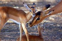Impala-Antilope mit Jungtieren II - Namibia - Africa by Eddie Scott