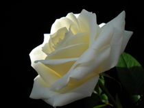 Single Rose by vitta