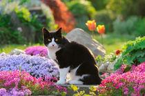 Katze im bunt blühenden Garten. Tuxedo cat in a flowery garden by Katho Menden