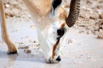 Springbock beim Trinken -Etoscha Nationalpark Namibia Afrika by Eddie Scott