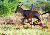 Hartebeest im Sprung -Antilope Namibia Afrika II by Eddie Scott