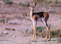 Impala-Antilope Jungtier Namibia - Africa II by Eddie Scott