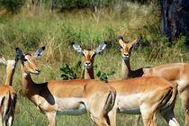 Impala Gruppe im Etoscha Nationalpark Namibia Afrika by Eddie Scott