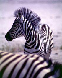 Junges Zebra - Namibia Etoscha Nationalpark Afrika by Eddie Scott
