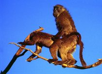Affen-fotos-afrika-namibia-5
