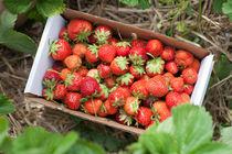 Fresh picked strawberries by Matilde Simas