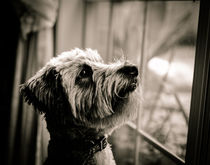 Curious Schnoodle by Jon Woodhams