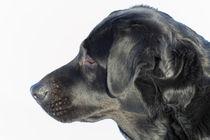 Labrador von ropo13