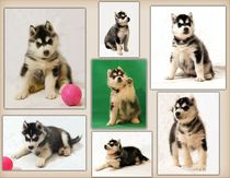 Husky Puppies Collage by Michael Ebardt