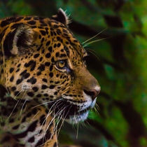 jaguar profile von Craig Lapsley