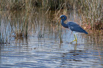 Tricolored Heron walking the Wetlands von John Bailey
