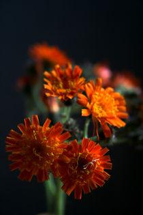Orangerotes Habichtskraut