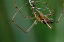 Common Stretch-spider II by Víctor Suárez