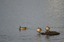 Chiloé Wigeon male and Southern Crested Ducks by Víctor Suárez