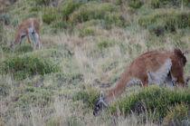 Guanacos grazing III by Víctor Suárez