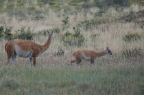 Female and cub of Guanaco I von Víctor Suárez