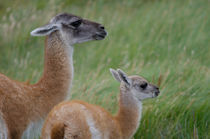 Female and cub of Guanaco von Víctor Suárez