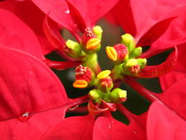 Close-Up Pointsettia by amineah