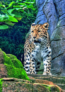 The leopard  von Doug McRae