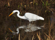 Great Egret Fishing by Louise Heusinkveld