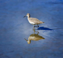 Willet by Louise Heusinkveld