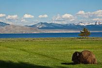 Buffalo at Yellowstone National Park by Jim Plaxco