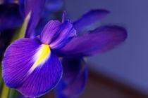 lilie lila by Dominik Nitzinger