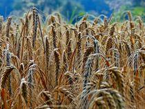 'cornfield' by ursfoto