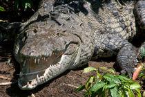 Crocodile after lunch - Costa Rica von Jörg Sobottka