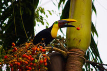 Swainson Toucan losing a palm fruit by Jörg Sobottka