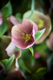 Hellebore by David Tinsley