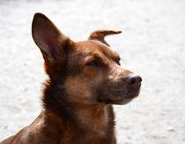 Hundeportrait-ii