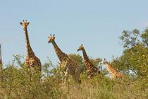 southafrica ... Giraffenstaffel by meleah