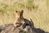 Löwe (Panthera leo) by Ralph Patzel