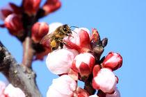 Bee in almond blossom by Jörg Sobottka