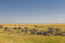 Steppenzebras (Equus quagga) by Ralph Patzel