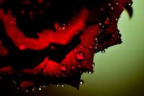 Wet Rose by phart
