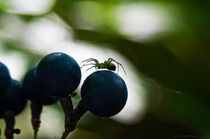 Spider and Grapes Macro Photograph by Jim Plaxco
