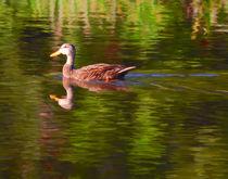 Mottled Duck by Mike Darrah