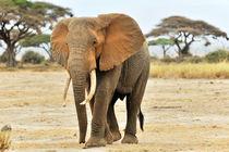 Afrikanischer Elefant von Jürgen Feuerer