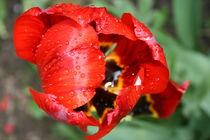 Rote Tulpe nach dem Regen von Antje Püpke