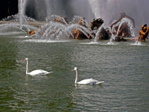 Swans in the Versailles Gardens by Sally White