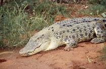 Krokodil, Saltie von Erika Buresch